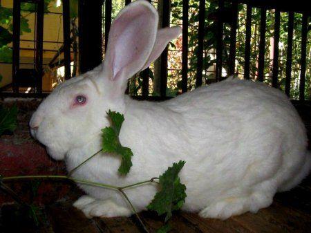 Кролики породи білий велетень