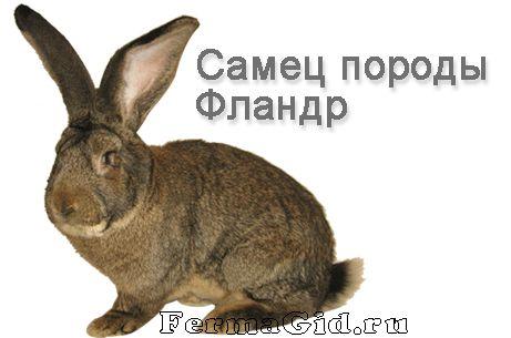 кролики породи фландр - бельгійський велетень