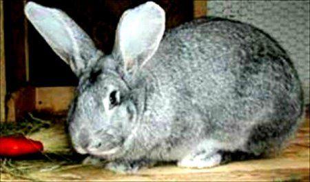 Кролики сірий велетень