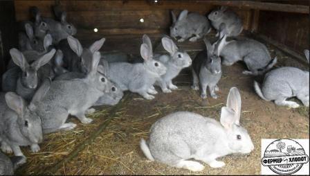 Кролики радянська шиншила