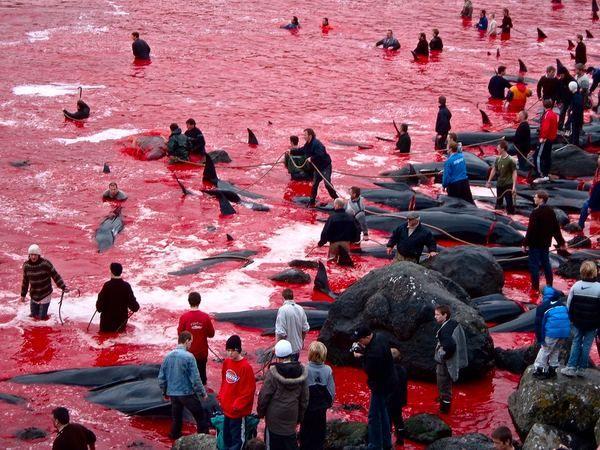 Кривава традиція фарерських китобоїв