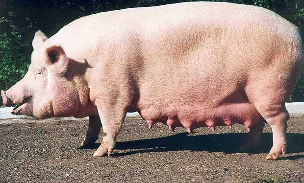 Велика біла порода свиней
