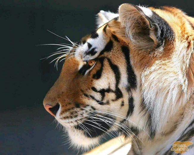 Амурський тигр (Panthera Tigris Altaica)