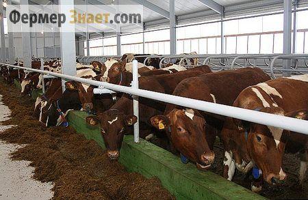 Зміст корів у корівнику