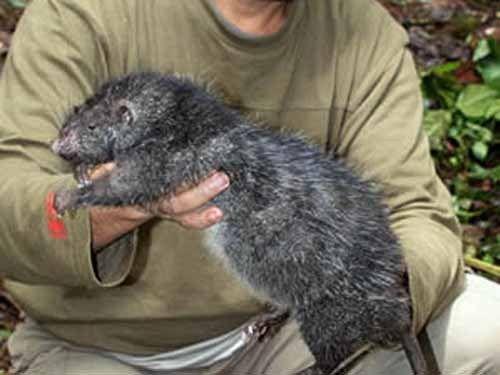 Довжина тіла щура (без хвоста) - 82 см, вага - 1,5 кілограма