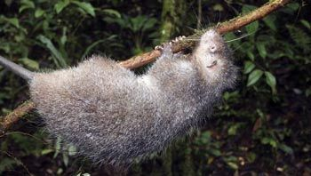 Це одна з найбільших щурів у світі