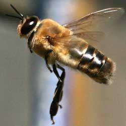 Хто такі трутні, яку роль виконують в бджолиної сім`ї