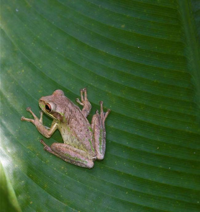 Розмноження відбувається круглий рік, але частіше за все в сезон дощів - з травня по жовтень.