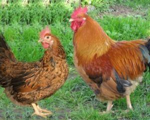Кучинський ювілейні кури
