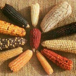 Кукурудза як культура