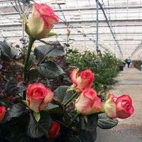 Культура троянд на малооб`ємних субстратах