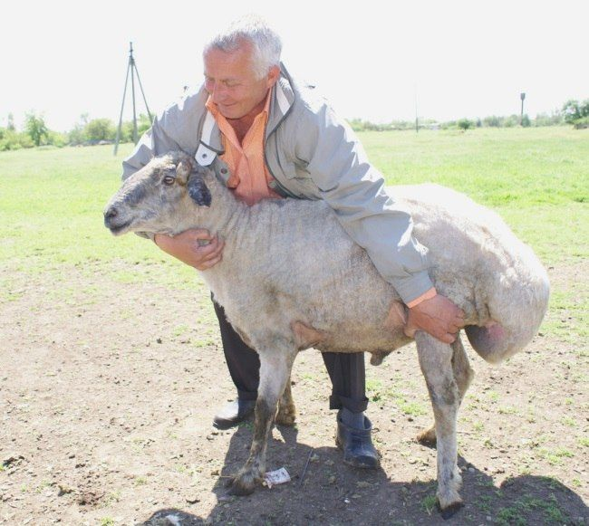 Курдючні породи овець