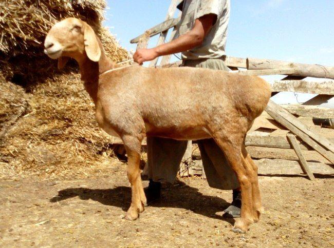 Афганська порода овець