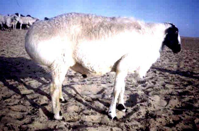 Таджицька порода овець