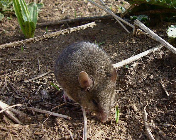 Курганчиковая миша викликає більше симпатії, ніж її будинкова родичка