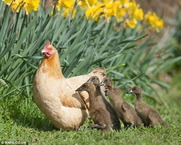 Курка-квочка приймає каченят як своїх курчат