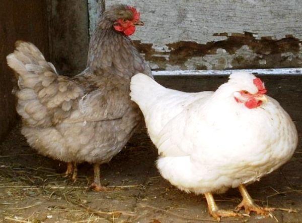 Зовнішні відмінності здорової і хворої кури