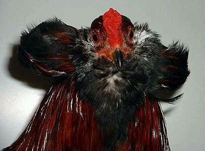 Кури породи Араукана несуть кольорові яйця