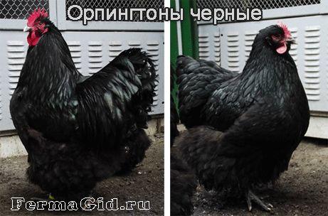 Курка і півень породи Орпінгтон - чорні