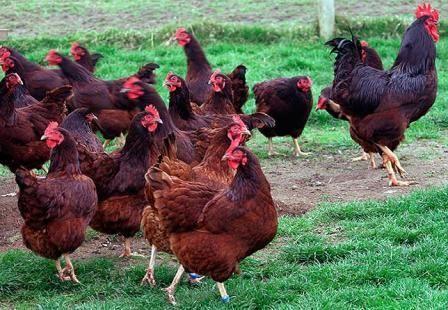 кури породи род айленд