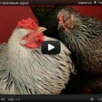 Кури відео