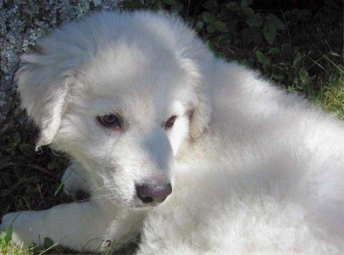 Угорський Кувас - сильна, надійна сторожовий собака