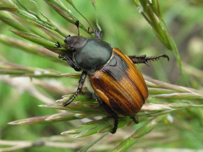 Хлібний жук (Anisoplia austriaca).