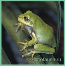 Квакшакорраловопалая / litoria caerulea