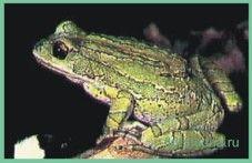 Квакшасумчатая / gastrotheca marsupiata