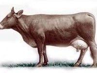 Лебединська порода корів