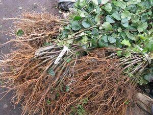 корінь малини