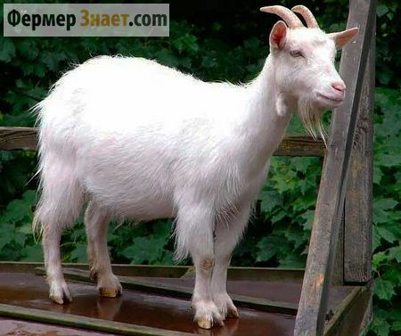 Коза російська біла