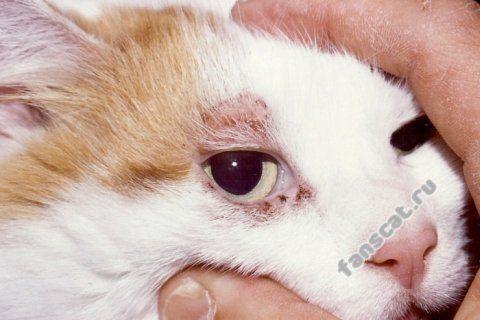 Лікування підшкірного кліща у кішок - перша допомога, симптоми, причини зараження