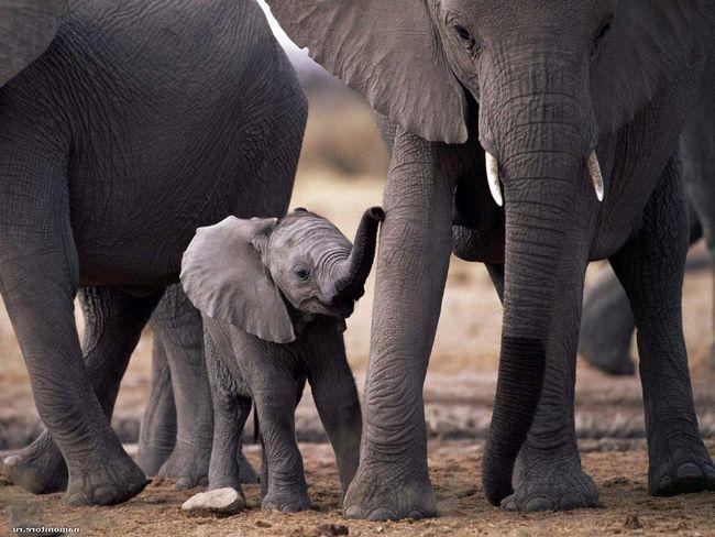 Слони допоможуть людям перемогти рак.