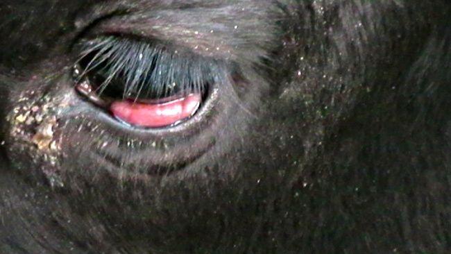 leukemia cows
