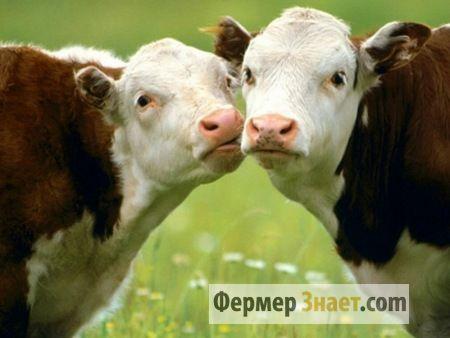Корови на пасовищі