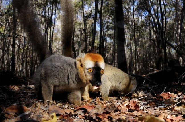 Лемури острова Мадагаскар