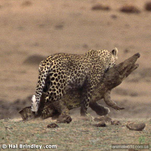 Крокодил мирно вийшов з води і неспішно повз по березі & amp; hellip-Коли в цей момент на нього з кущів напав леопард & amp; hellip;