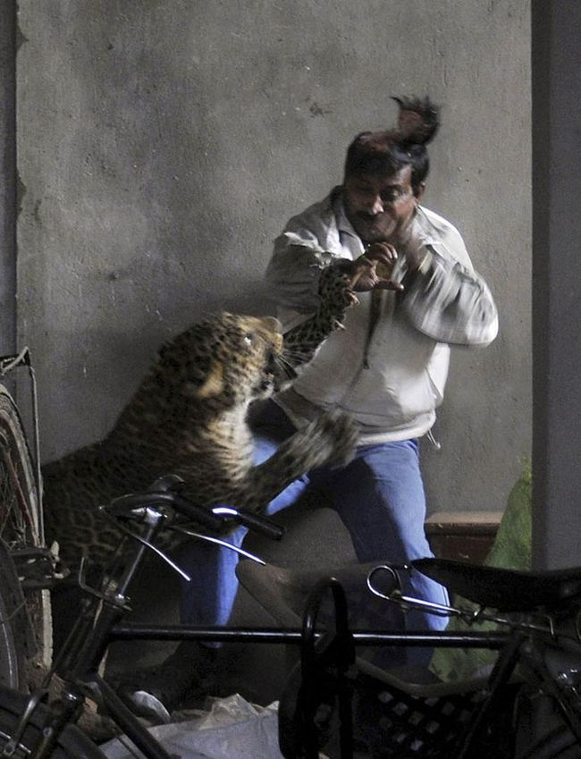 Леопард скальпував чоловіка одним ударом лапи