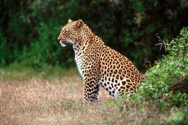 Одна самка леопарда здатна виносити, як правило, не більше трьох дитинчат.