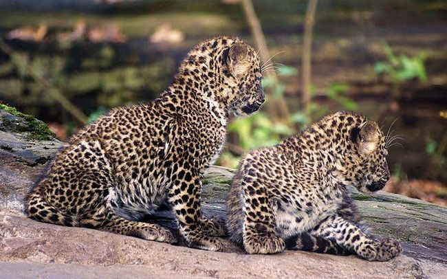 Маленькі леопардика.