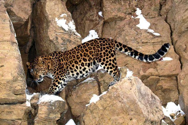 Свою здобич леопарди ховають на дереві.