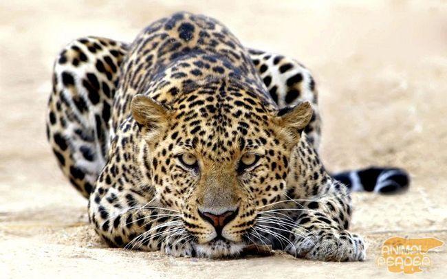 Леопард, пантера, Panthera Pardus