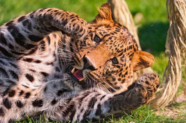 Малюк леопарда грає в зоопарку.