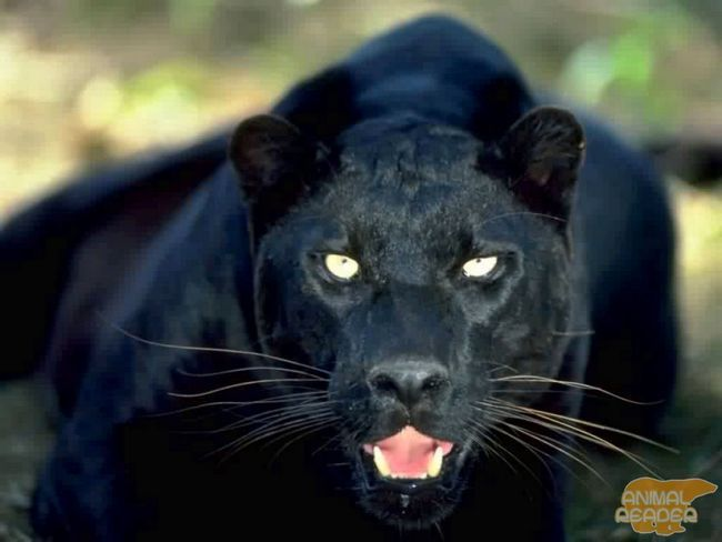 Чорний леопард, пантера