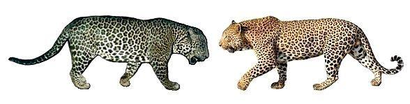 Леопард і ягуар - порівняння.