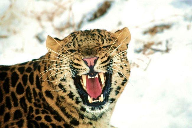 Леопард - великий мисливець земної фауни.