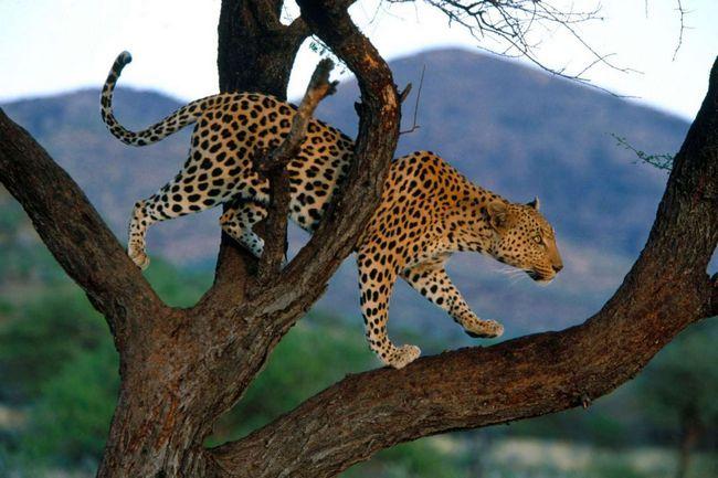 Леопард прекрасно почуває себе на дереві.