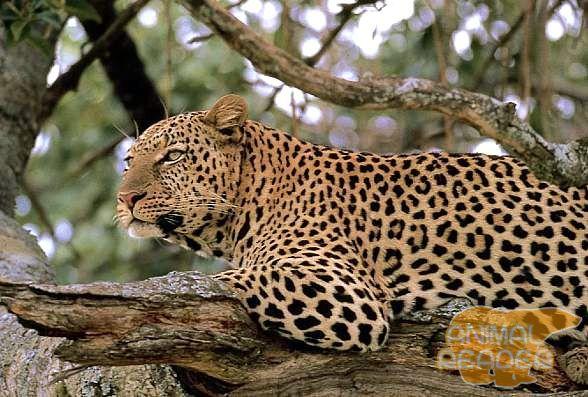 Дерево - улюблене місце відпочинку леопарда