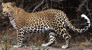 Леопард тварина